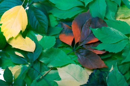 Background of multicolor leaves  Virginia creeper leaves photo