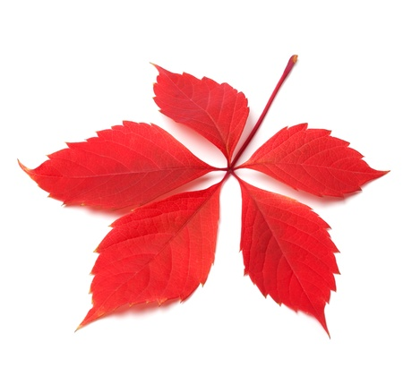 Red autumn virginia creeper leaf on white background  Close-up view  photo