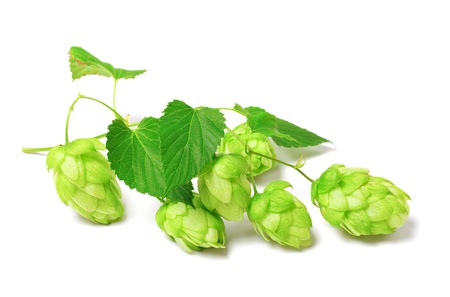 Blossoming hop isolated on white background  Stock Photo - 15081789