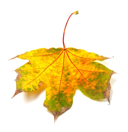 wizen: Dry autumn maple-leaf on white background
