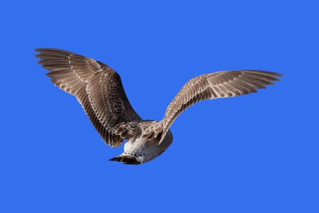 Flying seagull isolated on blue background photo
