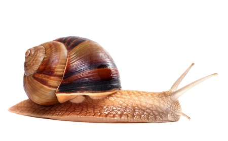 snails: Snail on white background  Close-up view   Stock Photo