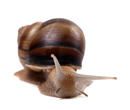 edible snail: Snail isolated on white background  Front view
