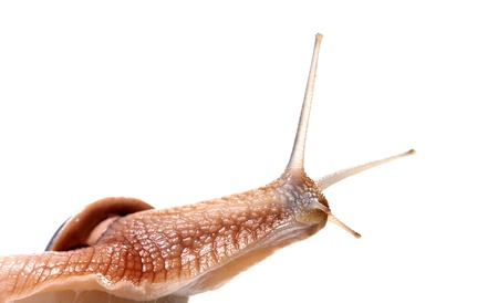 Funny snail looking away  Isolated on white background  photo