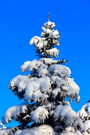 trompo de madera: Invierno abeto �rbol en el fondo de cielo azul Primer plano