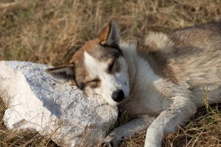 Homeless dog sleeps on stone for a pillow photo