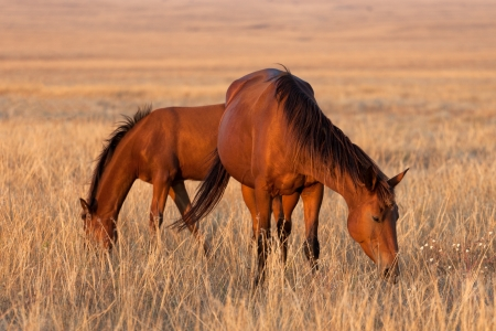 Two horses grazing in pasture  Close-up view  photo