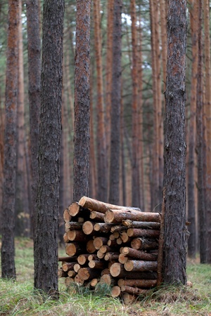 Stack of firewood in pine forest photo