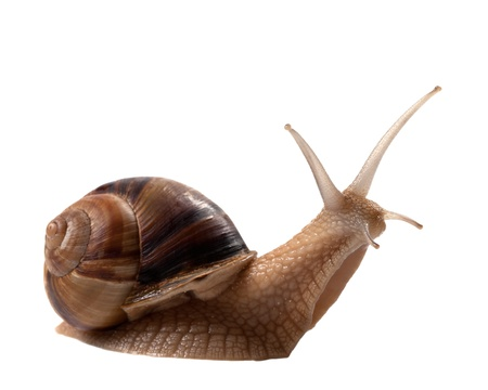 Snail isolated on white background  Close-up view