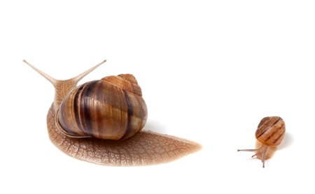 Family of snails  Isolated on white background  photo
