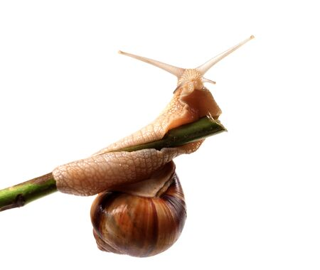Snail crawling on the stem  Isolated on white background  photo
