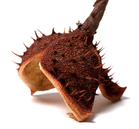 Dry peel of horse chestnut  Isolated on white background Stock Photo - 16713461