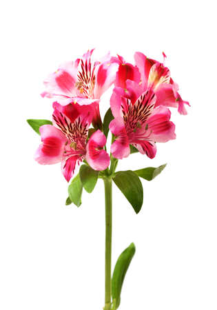 Lilies bud  alstroemeria  isolated on white background Stock Photo - 17339398