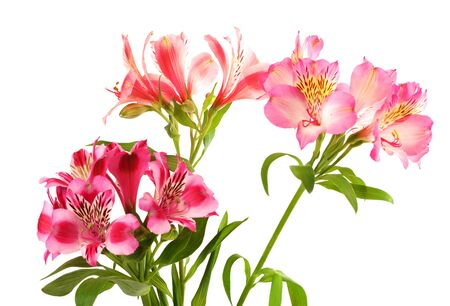Lilies  alstroemeria   Isolated on white background Stock Photo - 17339410