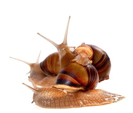 Family of snails on top of one another  Isolated on white background  photo