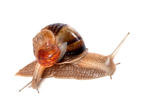 Big and small snails isolated on white background photo