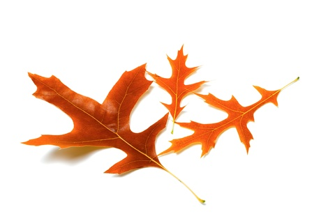 Three autumn leafs of oak on white background photo