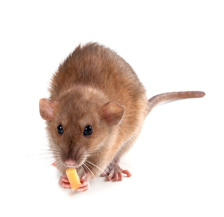 Fancy rat (Rattus norvegicus) eating piece of cheese.  photo