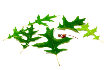 gabled: Green leafs of oak and acorns on white background