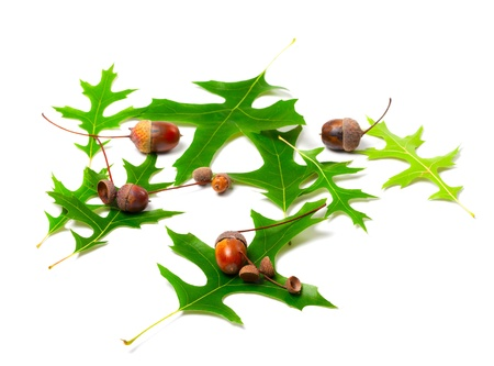 palustris: Acorns and green leafs of oak (Quercus palustris) on white background