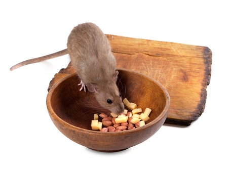 Brown rat eating from wooden plate. Isolated on white background. photo