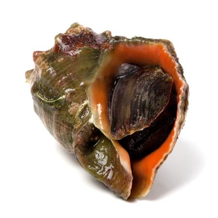 sea slug: Rapana isolated on white background. Close-up view.