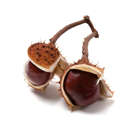 Two horse chestnuts on branch. Isolated on white background  photo