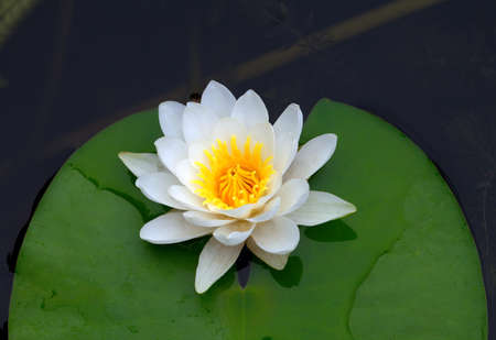 Victoria amazonica, water lily on pond photo
