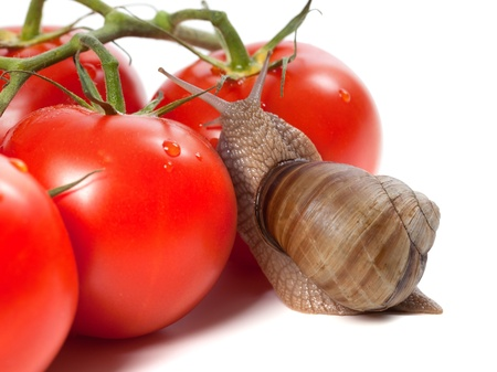 Garden snail and ripe tomato with water drop on white background photo
