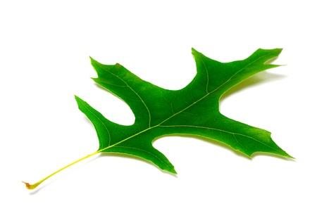 palustris: Green leaf of oak isolated on white background Stock Photo
