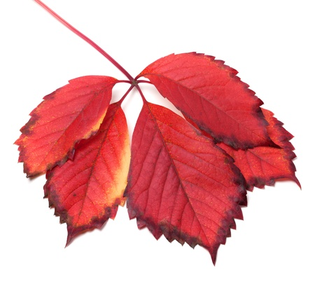 Red autumn leaf isolated on white background photo