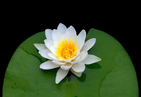 Victoria amazonica, water lily. Isolated on black background. photo