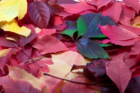 Background of multicolor autumn leaves. Virginia creeper leaves. photo