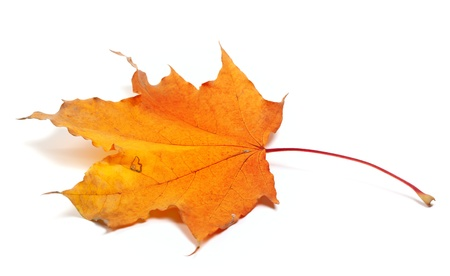 fallen leaves: Autumn maple leaf isolated on white background Stock Photo