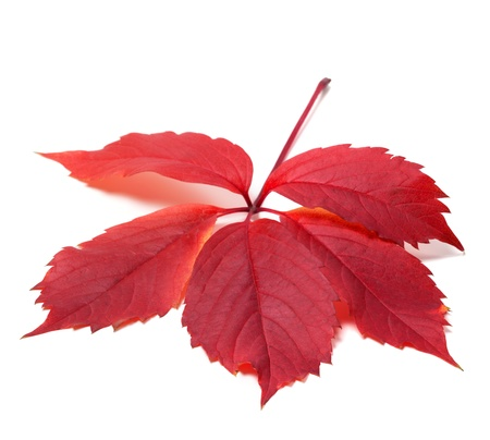 fallen fruit: Autumn red leave (Virginia creeper leaf). Isolated on white background. Stock Photo