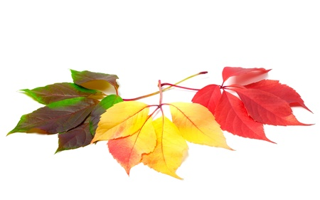 Three leafs of different seasons isolated on white background. Virginia creeper leaves. photo