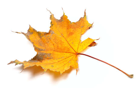 wizen: Autumn yellowed maple leaf isolated on white background. Selective focus.