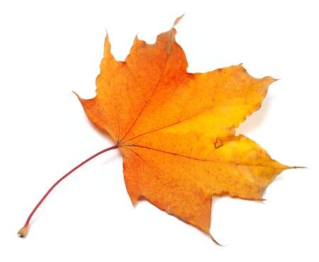 wizen: Autumn yellowed maple-leaf. Isolated on white background