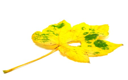 wizen: Autumn yellowed leaf with hole isolated on white background. Selective focus. Stock Photo