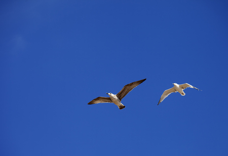 hover: Two seagulls hover in clear blue sky Stock Photo