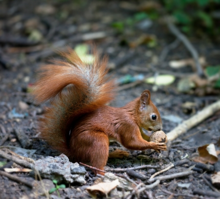 Red squirrel with walnut in autumn forest. photo