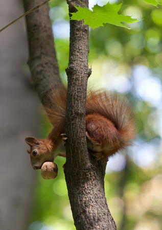 Red squirrel on tree with walnut in mouth. photo