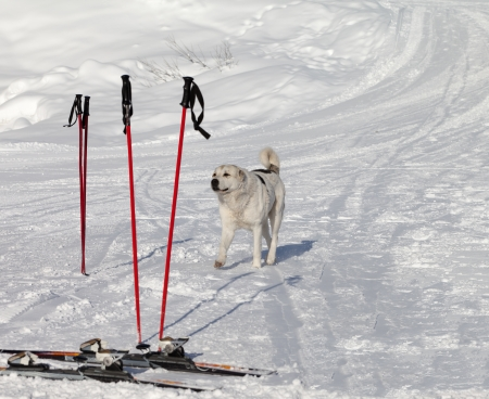 Dog and skiing equipment on ski slope at nice day. Caucasus Mountains, Georgia, ski resort Gudauri. photo