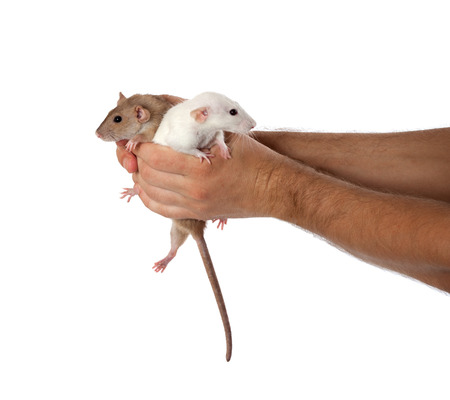 White and brown rats in hands. Isolated on white background. photo
