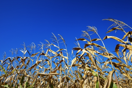 Cornfield and blue clear sky at nice sun day. Wide-angle view. photo