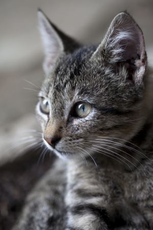 Portrait of gray kitten. Selective focus. photo
