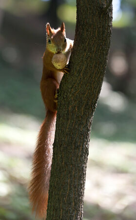 arboreal: Red squirrel on tree with walnut in mouth at sun day.