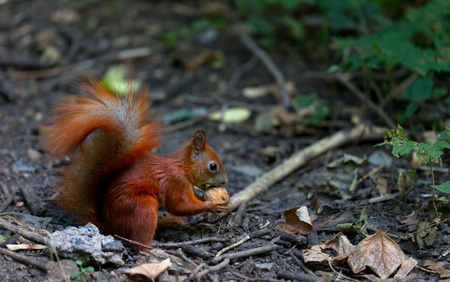 Red squirrel eat walnut in autumn forest photo