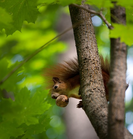 Red squirrel on tree with walnut in mouth. Selective focus - on squirrel. Stock Photo