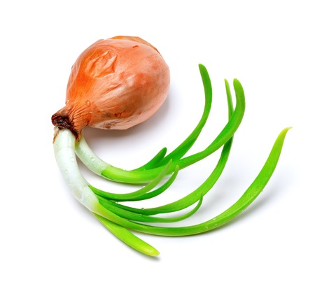 Sprouting onion (Allium cepa) isolated on white background photo